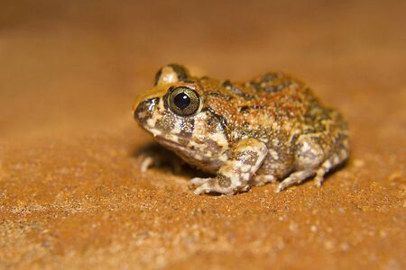 Indian Burrowing Frog. Sphaerotheca breviceps. Bangalore, Karnataka