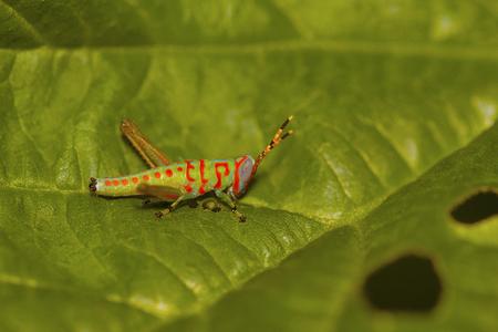 Little Clown Grasshopper, Pondicherry, Tamilnadu Stock Photo