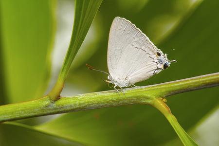 Plains Royal, Tajuria jehana, Lycaenidae, Rare. Pondicherry, Tamil Nadu