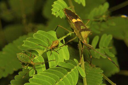 Shield Bug, Pentatomidae. Aarey milk colony, Mumbai