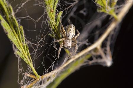 Social spider, Stegodyphus sarasinorum, Pondicherry, Tamil Nadu