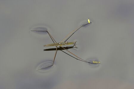 Water skipper, Gerridae, Hemiptera, Sanjay Gandhi National Park, Mumbai