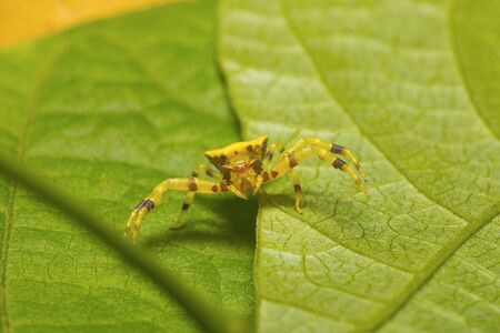 Crab Spider, Thomisidae Kaas, Maharashtra