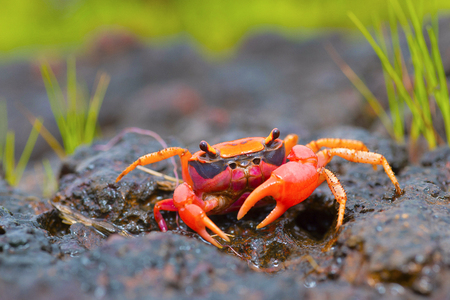 Gubernatoriana thackerayi a newly discovered species of brightly coloured freshwater crabs Satara