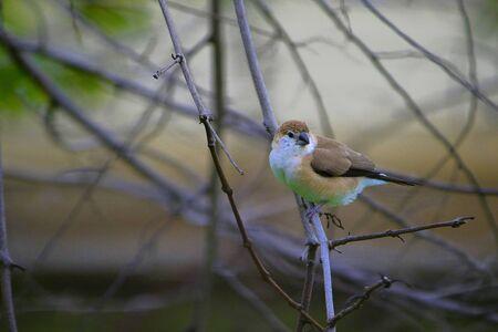 Indian silverbill or white-throated munia, Euodice malabarica, Jaisalmer