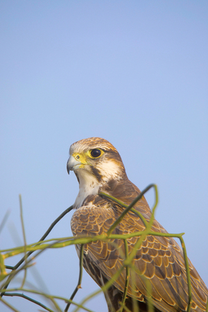 Laggar Falcon, Falco jugger Jaisalmer, Rajasthan