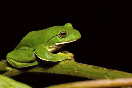 Giant Treefrog, Rhacophorus maximus, Kivikha