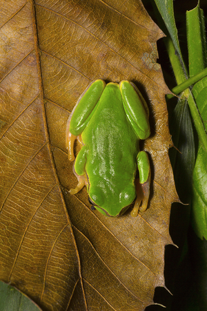 Jerdons tree frog, Hyla annectans, Kivikhu, Nagaland Imagens
