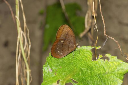 Assam Large Faun, Faunis eumeus assama, of a Brush-footed butterfly family Stock Photo