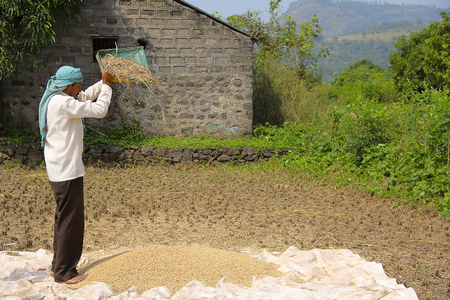 Farmer wind winnowing, drying and sorting rice after harvest, Sonapur village, near Panshet