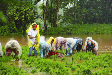 Men and women working in paddy field, paddy cultivation, near Lavasa