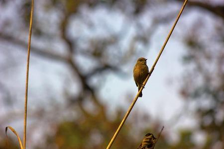 Bush chat, Dudhwa Tiger Reserve, Uttar Pradesh Stock Photo