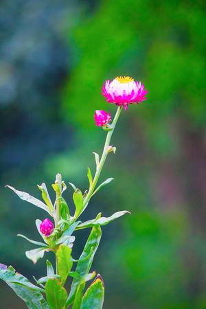King Proteas flower, Kenya, Africa