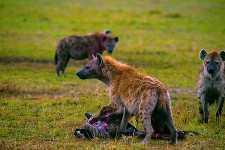 Spotted Hyena with kill, Kenya, Africa
