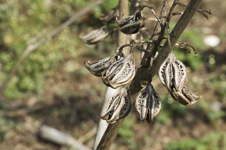 Huli Nakha, Tigers Claw, Devils Claw, Martynia Annua, near Pune Banco de Imagens
