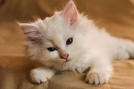 Cute little white kitten laying down