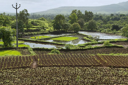Landscape view of rice farming near Bhor, Pune