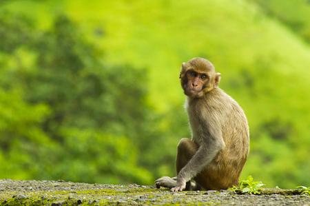 Monkey sitting on roadside wall in Varandha ghat, Pune Stock Photo
