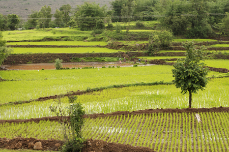 View of rice farms near Bhambatmal dam, Pune
