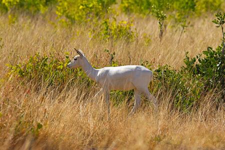 Albino Black Buck, Antilope cervicapra, Velavadar National Park, Gujarat