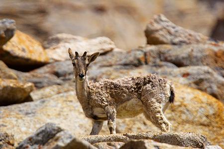 Bharal or Himalayan blue sheep or naur, Pseudois nayaur, Jammu and Kashmir