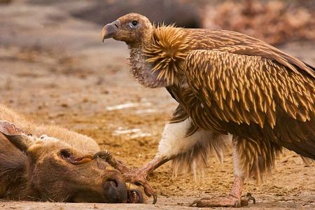 Himalayan Griffon Vulture or Gyps himalayensis at Panna Tiger Reserve Rajasthan