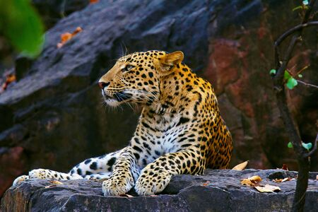 Indian Leopard or Panthera pardus fusca from Ranthambhore Tiger Reserve, Rajasthan