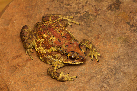 Indian Toad or Duttaphrynus melanostictus, Mulshi from Maharashtra Stock Photo