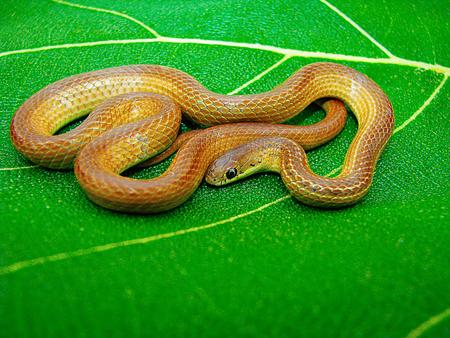 Lesser Striped Necked Snake, Liopeltis calamaria, Satara, Maharashtra