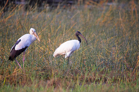Open Bill Stork, Anastomus oscitans and Black Headed Ibis, Tadoba Andhari Tiger Reserve, Maharashtra