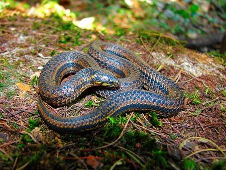 Perrotets Narrow Headed Snake, Xylophis perroteti, Mukhurthi, Karnataka Stock Photo