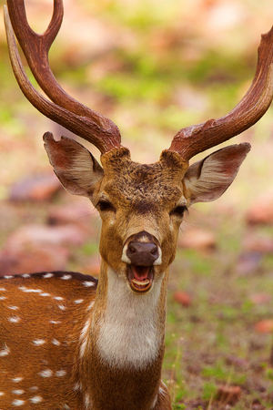 Spotted Deer, Axis axis, Bandhavgarh Tiger Reserve