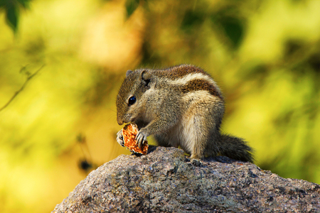Three Striped Squirrel