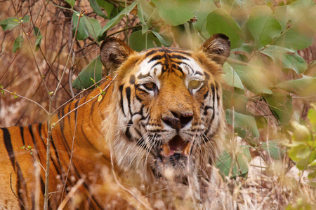 Tiger named Bamera from Bandhavgrh Tiger Reserve Stock Photo