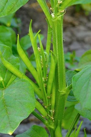 Cluster bean or guar beans, Cyamopsis tetragonoloba , Pune, Maharashtra.