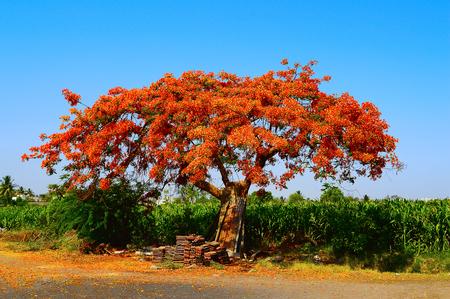 Royal Poinciana Tree (Gulmohar) , Delonix regia near Pune, Maharashtra Stock Photo