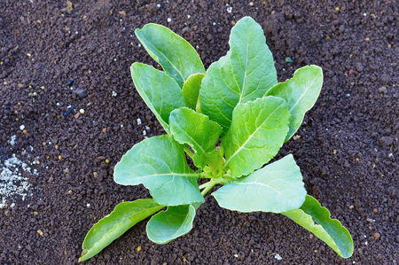 Young Cauliflower Plant , species Brassica oleracea near Pune