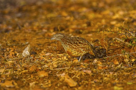 Barred Button Quail or Common bustard-quail