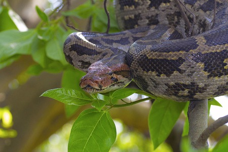 Indian Rock Python on tree Stock Photo