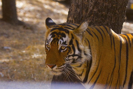 Tiger, Panthera tigris. Alphonso, Ranthambhore Tiger Reserve, Rajasthan Stock Photo