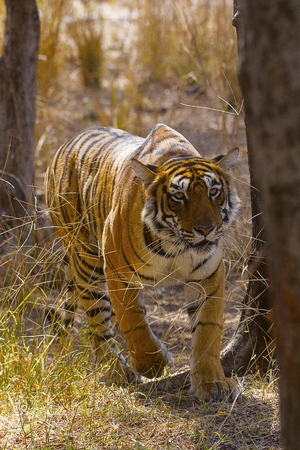 Tiger, Panthera tigris. Arrowhead, Ranthambhore Tiger Reserve, Rajasthan Stock Photo