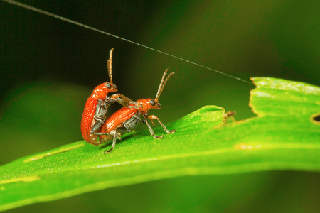 bug mating, Aarey Milk Colony Stock Photo