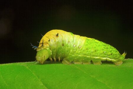 Butterfly caterpillar, Aarey Milk Colony , INDIA