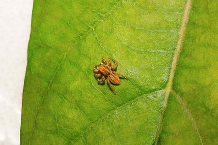 Jumping spider , Salticidae , Aarey Milk Colony , INDIA Stock Photo