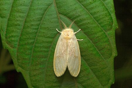 Moth , Aarey Milk Colony , INDIA.