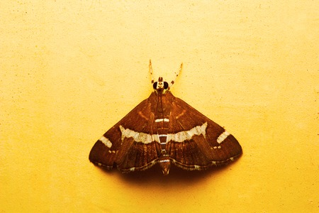 Moth, Aarey Milk Colony, India