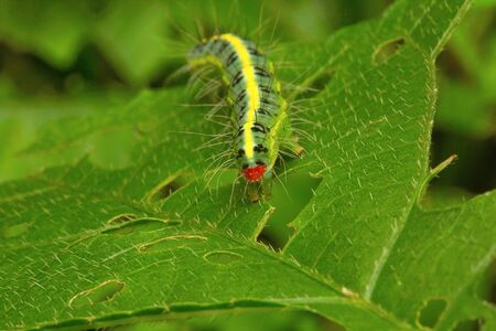 Moth caterpillar , Aarey Milk Colony , INDIA