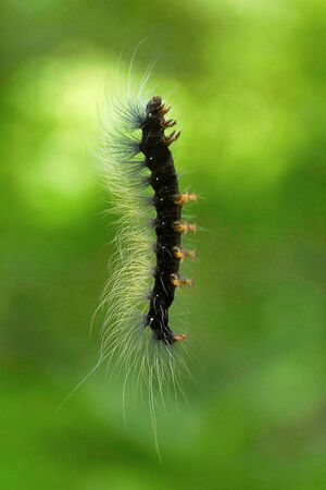 Moth caterpillar, Aarey Milk Colony, India Stock Photo