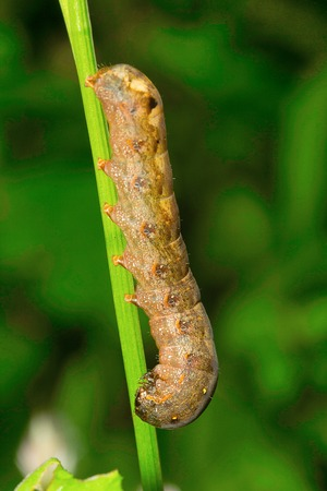 Moth caterpillar, Aarey Milk Colony, India. Stock Photo