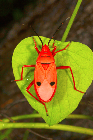 Red silk cotton bug Stock Photo